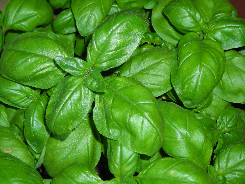 5 piante aromatiche utili contro le zanzare ricette di for Basilico vaso