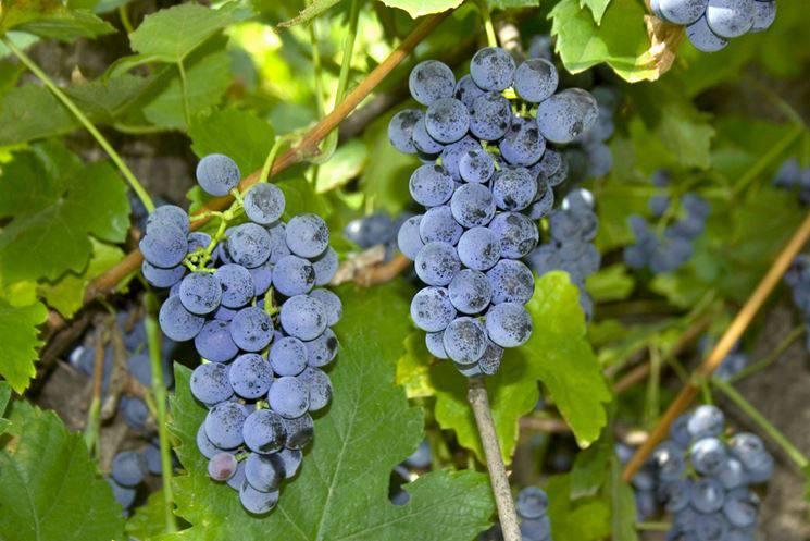 I benefici dell'uva per la salute e la cosmesi