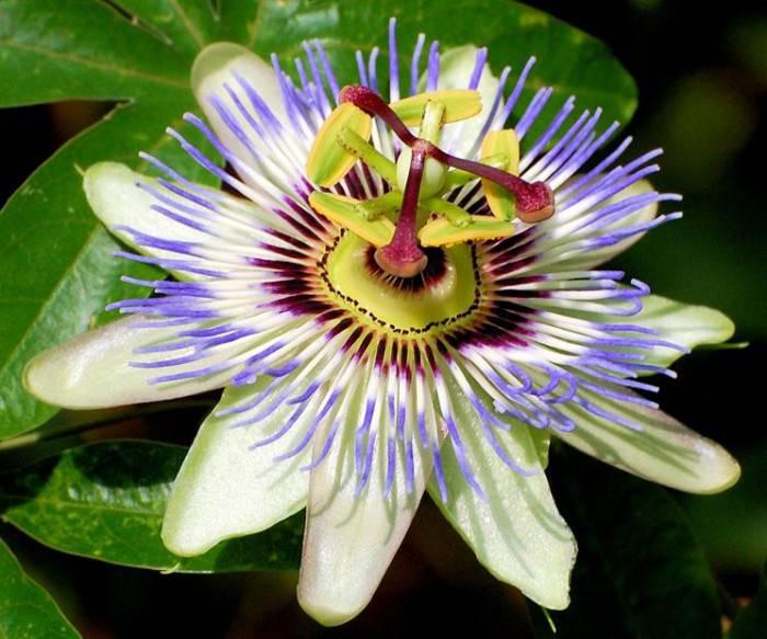 passiflora_NG1