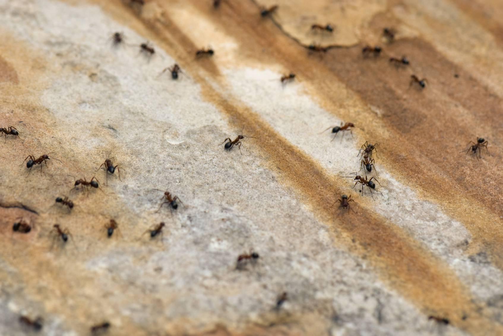 Rimedi Naturali Per Allontanare Le Formiche Da Casa