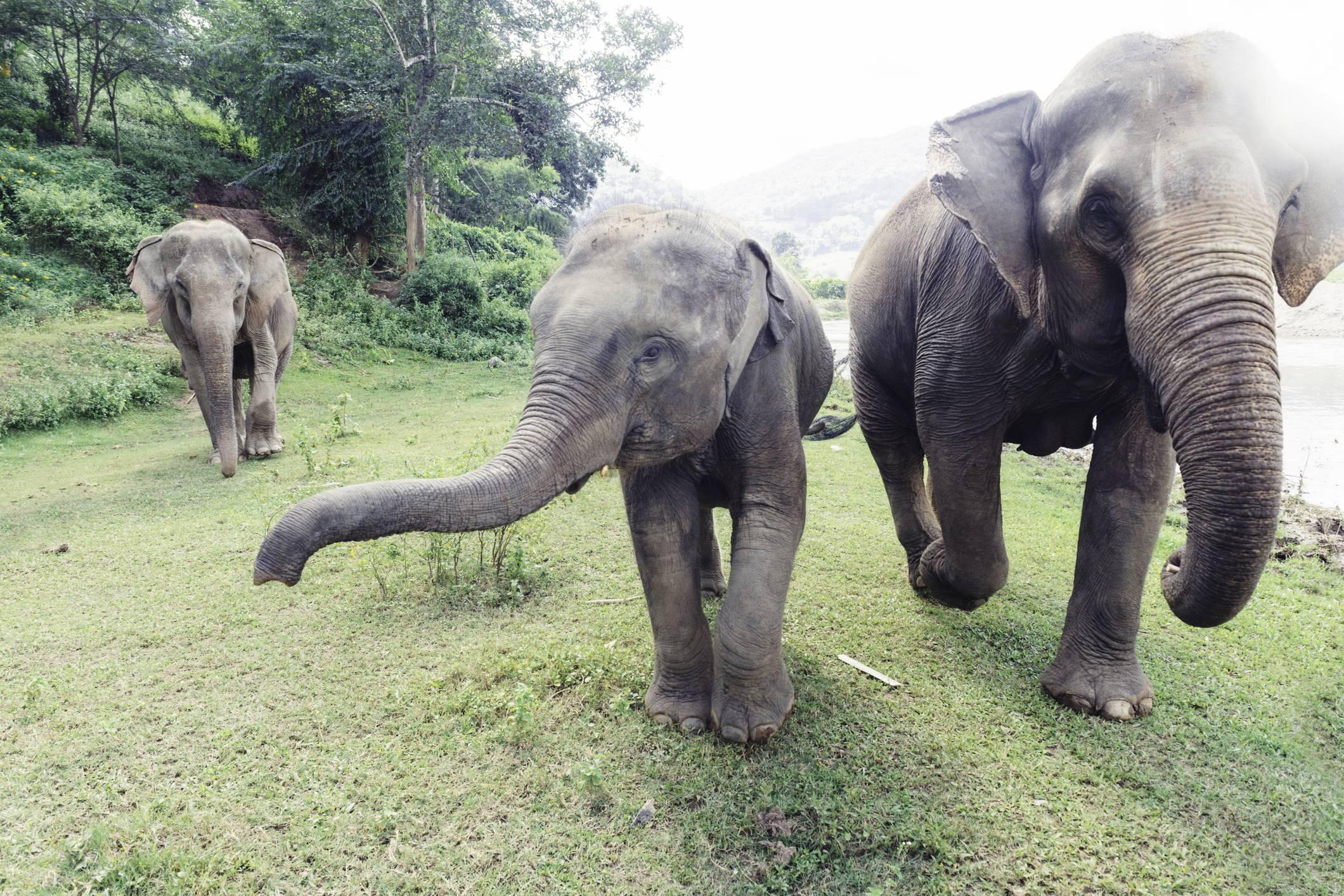 Black Ivory, il caffé che nasce dallo sterco d'elefante è il più caro al mondo