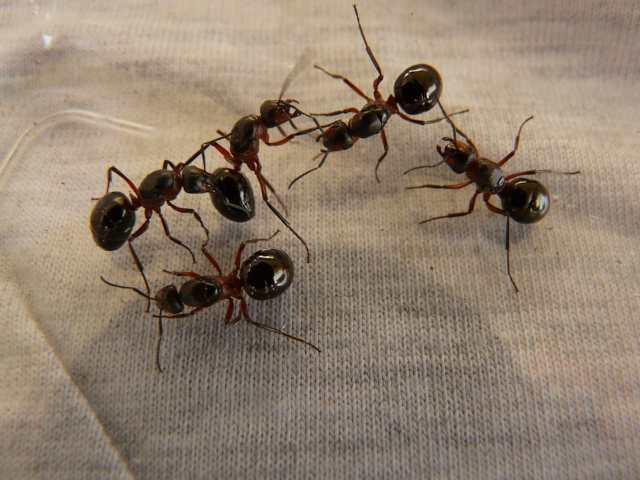 Formiche in casa: 5 metodi molto efficaci per tenerle lontane