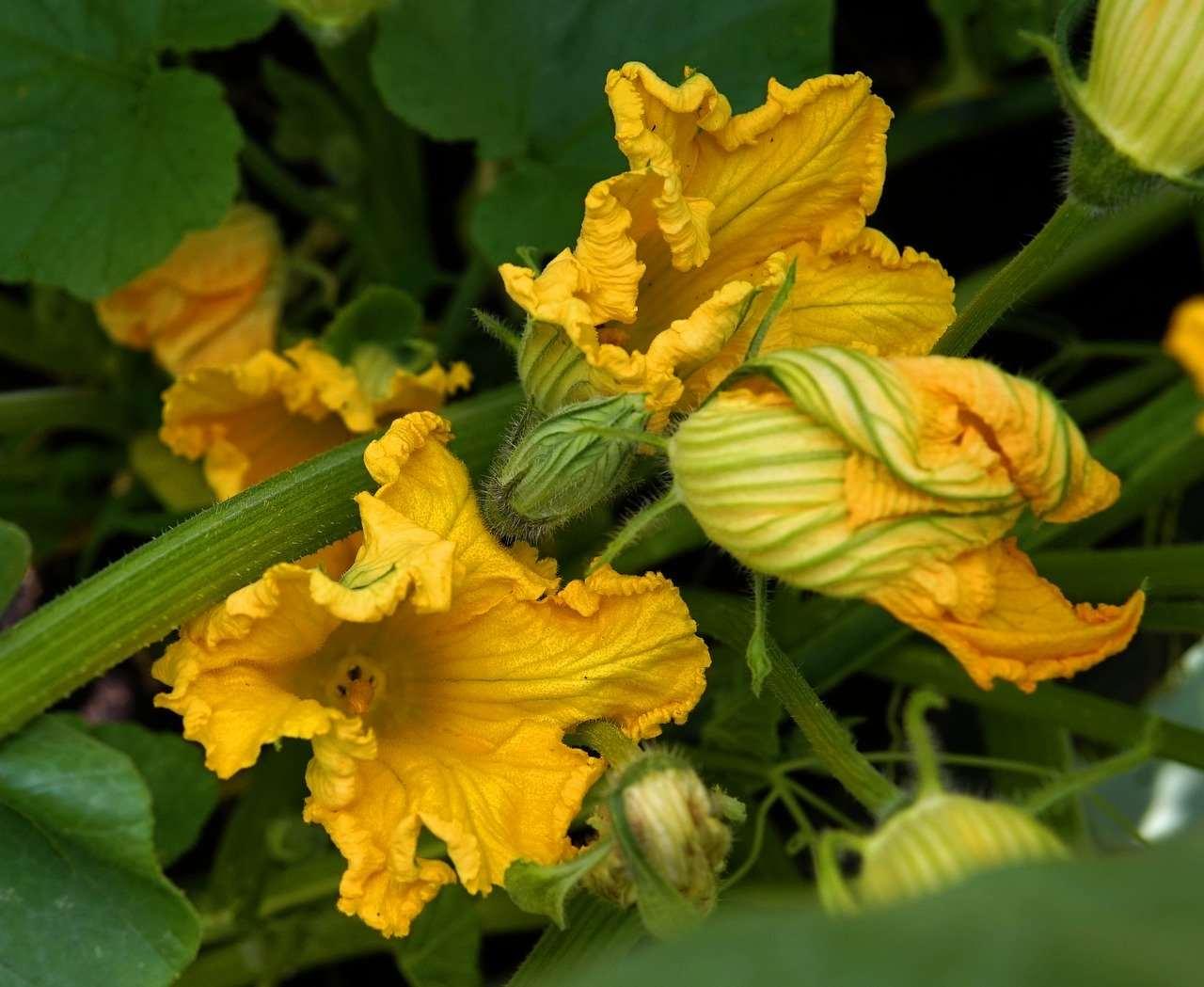 fiori di zucca spaghetti