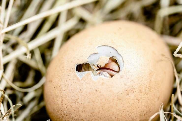 uovo pulcino