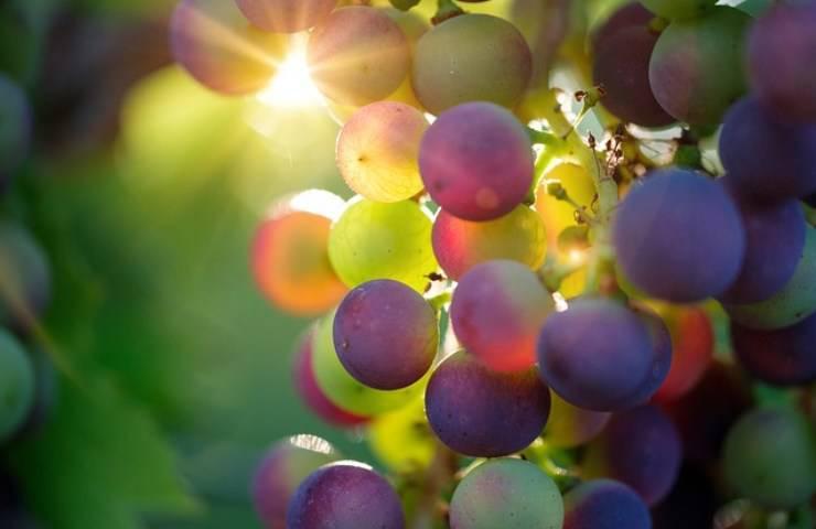 la dieta dell'uva