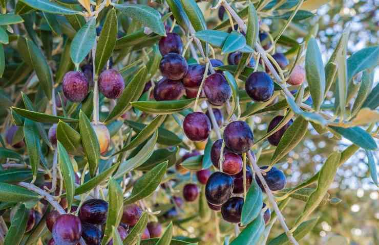 Olive nere ricetta pasta alla cenere